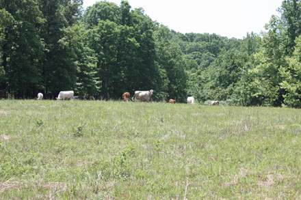 Cows grazing on the southern slope of the farm